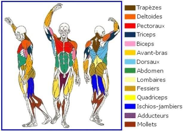 Quels muscles travaillent avec l'aqua stretching